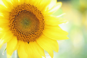 sunflower spiral 22022742